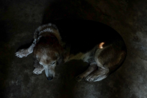 Sunlight streaming through a crack in the roof of the garage during the partical eclipse of the sun, creates a crescent like shape on my dog, who took refuge in the garage from the day's heat